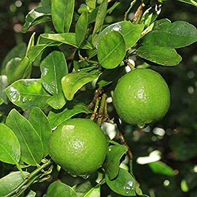 AchmadAnam - Tree - Key Lime (Mexican Lime), 3-4 Year Old (3-3.5 Ft), Potted, 3 Year Warranty. E2 : Garden & Outdoor