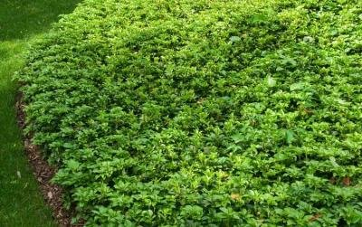 Classy Groundcovers - Pachysandra terminalis {50 Bare Root Plants} by Classy Groundcovers (Image #2)