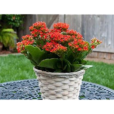 Bio Garden - Rare 50pcs red Kalanchoe blossfeldiana Seeds Easy to Grow, Exotic Flower Seeds Hardy Perennial Garden : Garden & Outdoor
