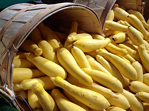 50 Early Prolific STRAIGHTNECK Squash Yellow Summer Bush Heirloom Seeds + Gift