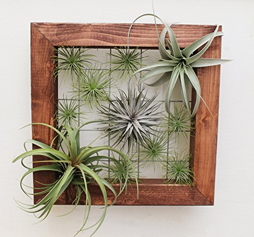 Plant Tillandsia Mountable Plants Included product image