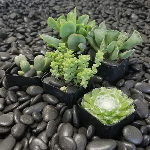Most bought Cacti & Succulents Seeds & Bulbs
