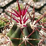 Ferocactus rectispinus Cactus Cacti Succulent Real Live Plant