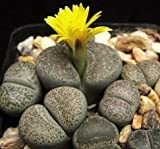 Seeds Lithops Terricolor Rare Mesembs Succulent Living Stones Cactus 100 Seeds