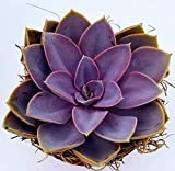 Fat Plants San Diego Live Echeveria Succulent Plant in Pot in a 4 inch Plastic Growers Pot (4 inch, Perle Von Nurnberg)