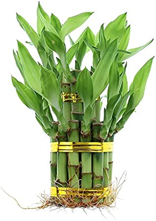 3 Tiered Tower Lucky Bamboo Arrangement NW Wholesaler