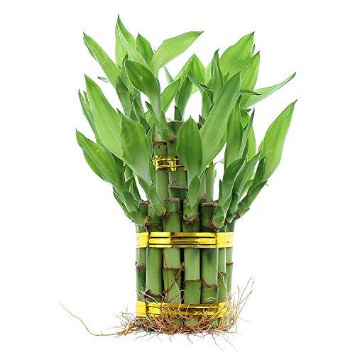 NW Wholesaler - 2 Tiered Tower Lucky Bamboo Arrangement