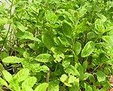 Holy Basil Seeds Thai Holy Basil Seeds Ocimum Sanctum L. Herb Flower Seeds 2400 Seeds /Pack From Thailand