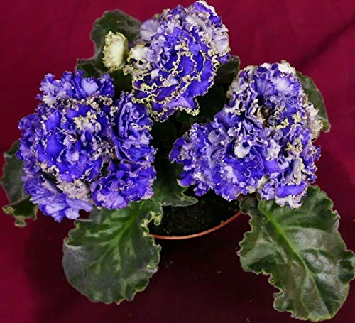 African Violet Water Sprite (Vodianoi) Affair Actual Plant 4″ Pot Russian