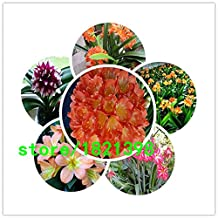 Clivia seeds, cheap Clivia seeds,Clivia potted seed, Bonsai balcony flower - 500 pcs/bag