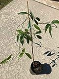 1 Green Jade Vine (Strongylodon macrobotrys) - Live Plant (not Seeds)