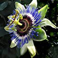 PASSIFLORA caerula Blue Passion flower 15 + Seeds