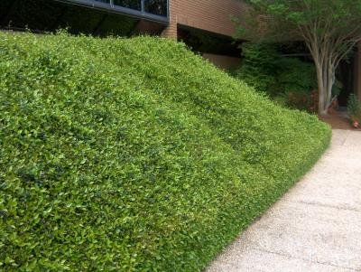Classy Groundcovers - Trachelospermum asiaticum {50 Bare Root Plants} by Classy Groundcovers (Image #2)