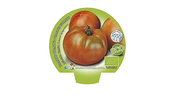 Plantel de tomate híbrido Katón ecológico (12 unidades): Amazon.es ...