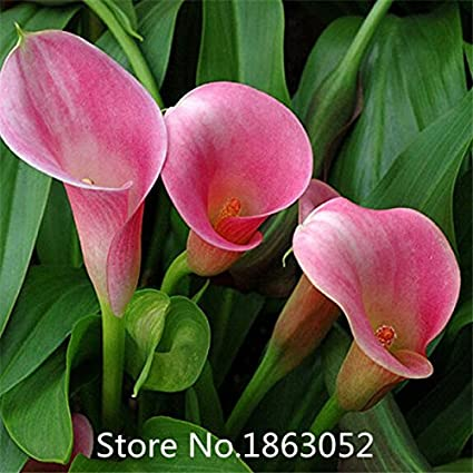 Rare Plants Potted Flowers *SEEDS.STORE* Calla Lily Seeds Not Bulbs