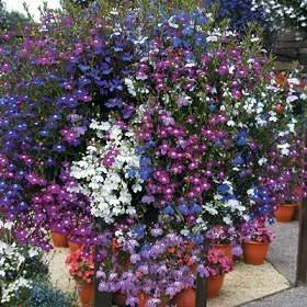50+ Trailing Mixed Lobelia Regatta Perennial Flower Seeds / Great for Hanging Baskets