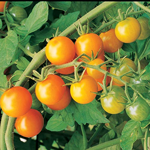 Burpee Sun Gold' Hybrid Cherry Tomato, 3 Live Plants | 2 1/2