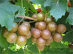 1 Starter Plant of Carlos Muscadine Grape in Gallon Pot