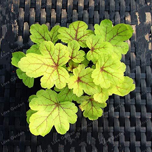 Heuch/ère Bonsai Belle Bonsai Jardin PlenTree Importeds 20 Pcs//Sac Pourpre Heuchera Mix Potted