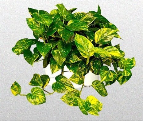 Golden Devils Ivy - Pothos - Epipremnum - 6 Hanging Pot - Very Easy to Grow unique from Jmbamboo