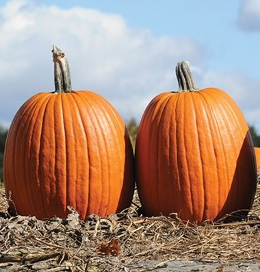 - David's Garden Seeds Pumpkin Champion SL2601 (Orange) 25 Non-GMO, Hybrid Seeds