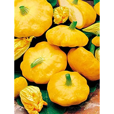 Mouse over image to zoom Details about COURGETTE PATISSON SUMMER SQUASH SUNBURST YELLOW PATTY PAN 10 ORGANIC seeds : Garden & Outdoor