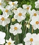 5 bulbs DAFFODIL 'ACTAEA' POETICUS NARCISSUS FRAGRANT AMARYLLIS FAMILY BULBS