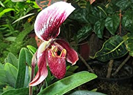 Paphiopedilum superbiens from the Orchid family .