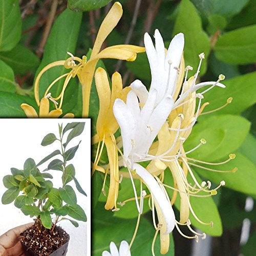 Best Climber plants -Japanese Honeysuckle
