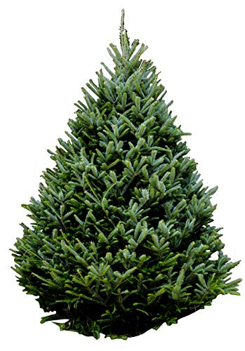 Hallmark Real Christmas Tree Fraser Fir 6 Foot To 7 Foot No Stand
