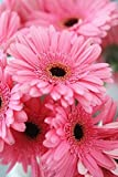 ChinaMarket 100 Pcs/bag Gerbera Pink Daisy Seeds New Hybrids Mixed Flower Pot Bonsai Plants Easy To Grow For Jardin Garden Flowers Seed