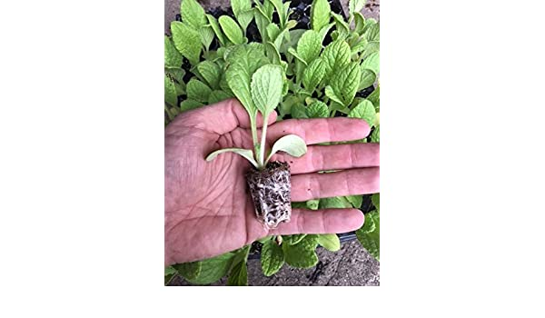 Plantel borraja de Movera 20 unidades: Amazon.es: Jardín