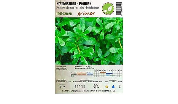 Semillas de hierbas - Verdolaga - Portulaca oleracea ...