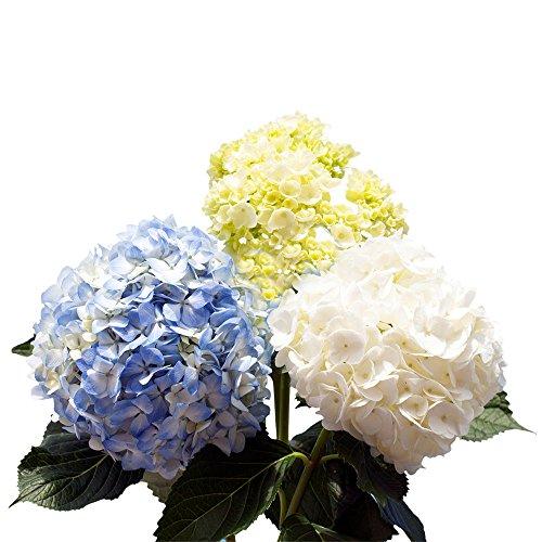 GlobalRose 10 Fresh Cut Assorted Colors Hydrangeas - Fresh Flowers For Weddings or Anniversary.