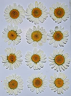 HANDI-KAFU White Daisy real pressed dried flowers by HANDI-KAFU