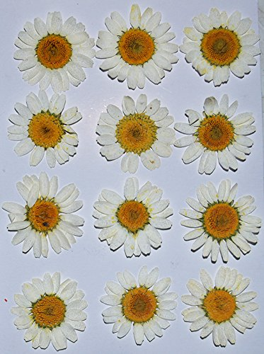 HANDI-KAFU White Daisy real pressed dried flowers