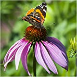 Package of 500 Seeds, Purple Coneflower (Echinacea purpurea) Non-GMO Seeds by Seed Needs