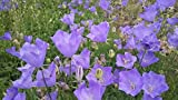 Biennial Campanula Clustered Bellflower 2000 Seeds
