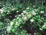 50 Honeysuckle Live Plants Fragrant Yellow White Trailing Vine Bare Root Plants