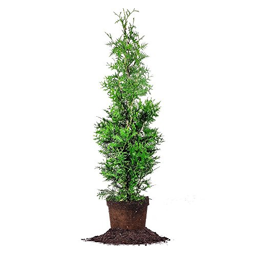 THUJA GREEN GIANT - Size: 4-5', live plant, includes special blend fertilizer & planting guide by PERFECT PLANTS