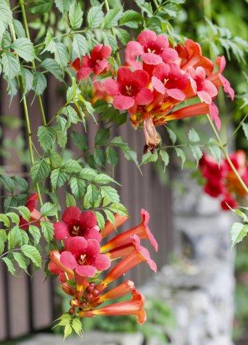 Earthcare Seeds Trumpet Vine 100 Seeds Campsis radicans
