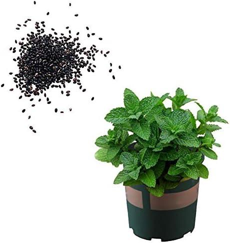 SOOGGI 1500 粒 ミントの種 植物種子 ホームガーデン ファーム植栽 園芸 高い発芽率 簡単な栽培 家庭用