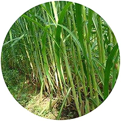 CANHOT Garden - 100pcs (Pearl of The Night) New Royal Bamboo Seed King Royal Grass Hybrid Sweet Elephant Grass Yellow Grass Grass Seed : Garden & Outdoor