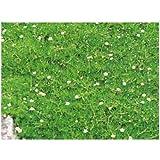 10000 Seeds Irish Moss, Pearlworts, Sagina subulata, Stermmmoss, Sagine