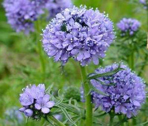 6000 Seeds (GLOBE GILIA Gilia Capitata - 6,000 Flower Seeds)