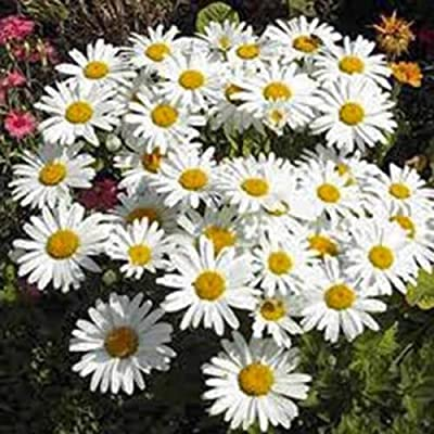 Shasta Daisy 100 Seeds Organic, Beautiful Bright White/yellow Flower