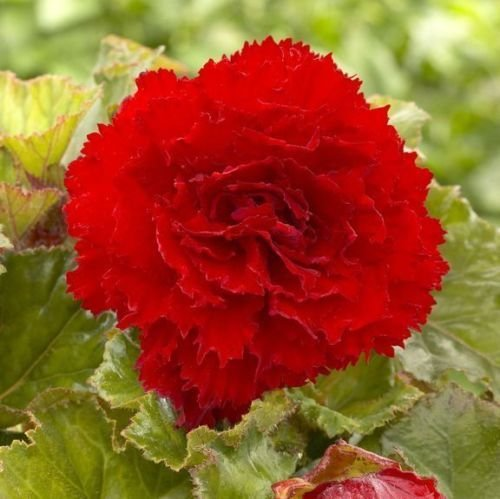 (Begonia Giant Ruffled Red ( 3 Bulbs) Fragrant blosssoms from summer to frost)