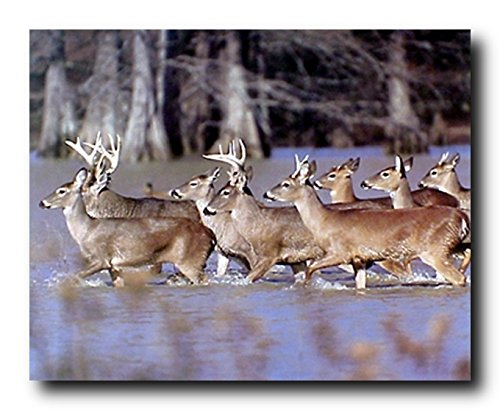 Wildlife Animal Wall Decor Herd of Whitetail Deer Crossing Lake Art Print Poster (16x20)