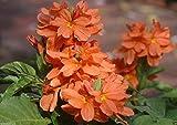 Crossandra Seeds,orange Marmalade -Firecracker Flower- Very Rare Tropical Plant