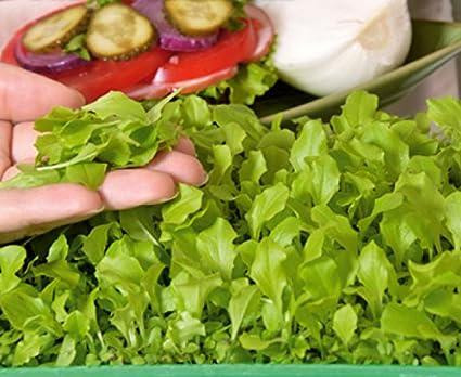 Microgreens - lechuga verde - hojas jóvenes con un sabor excepcional - semilla